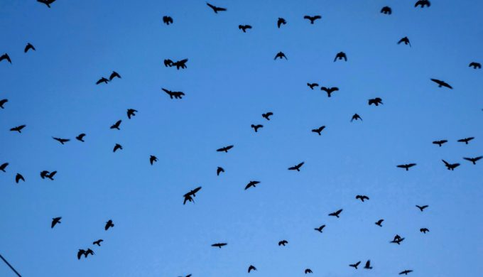 Viral Video: Grackles Invade a Wal-Mart Parking Lot in Texas
