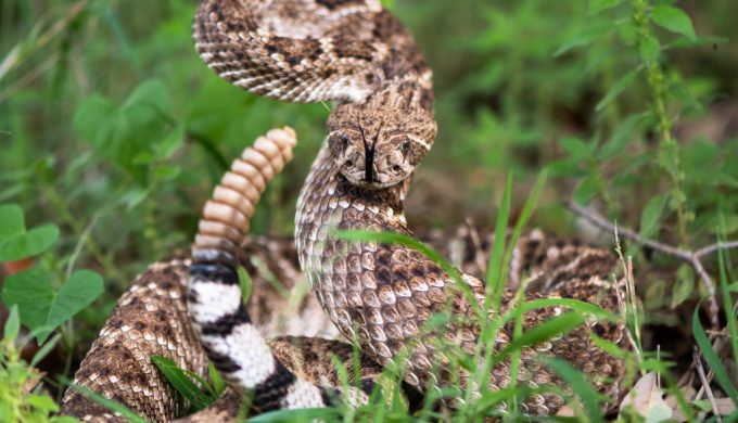 Snake Sightings Expected to Spike in Texas This Summer