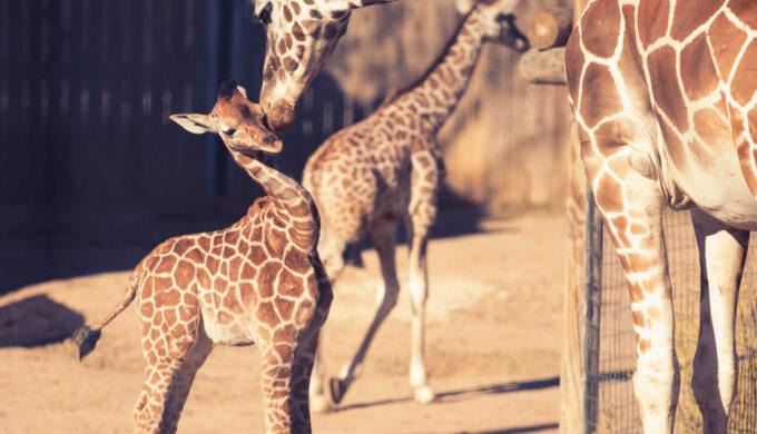 Abilene Zoo Adds Three New Giraffe Calves for Christmas