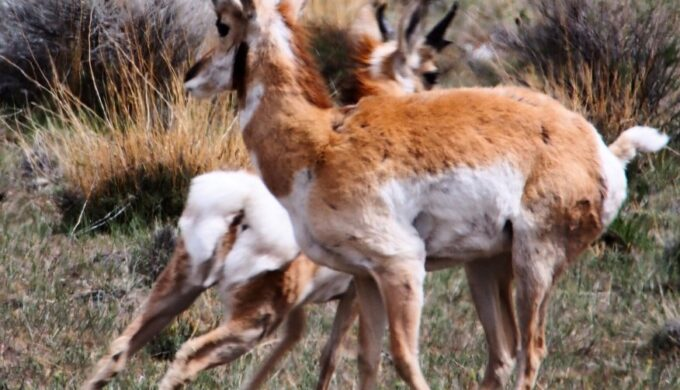 A Case of Mistaken Identity: What is a Pronghorn Exactly?