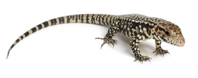 Black and White Tegu Lizards are Invading the Lone Star State